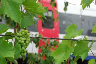 ワインぶどうのまち富良野と丘のまち美瑛を訪ねて(北海道)