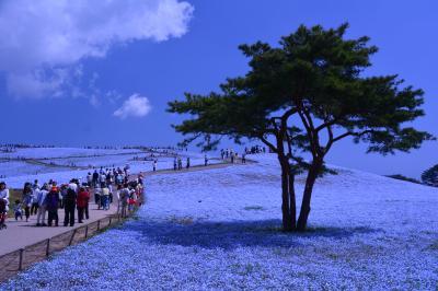 ネモフィラ、青の世界・国営ひたち海浜公園