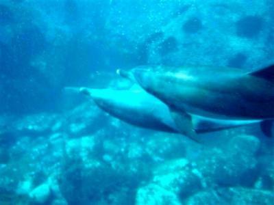 フェリーで伊豆七島へ 御蔵島のイルカと泳いじゃえ ~ドルフィンスイムツアー~(Coming Soon)