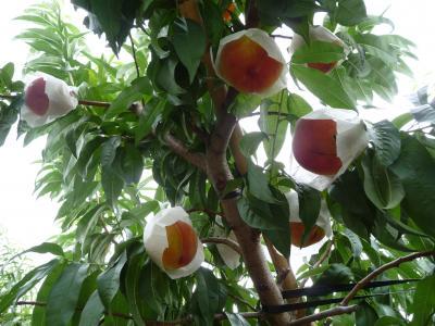 毎年恒例の桃狩りへ 2014夏