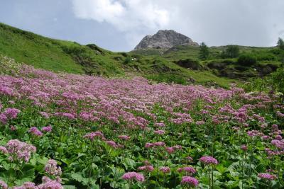 オーストリア三大名峰山麓ハイキング10日間の旅・・・・高山植物編④グロースグロックナー山麓その1