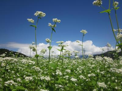 福島県会津地方への旅(青空の下~白く可憐に咲く蕎麦の花と、美しい蓮の花が白と桃色でした)