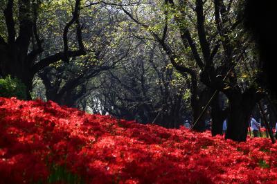 天上の花 深紅の園 に 秋 想ふ/【幸手市 権現堂 曼珠沙華】