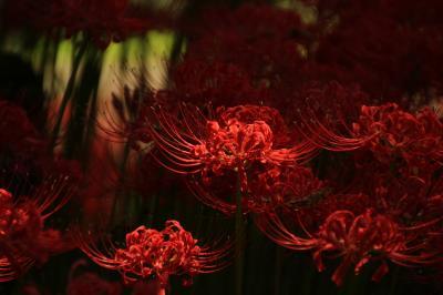 さわやかな秋晴れのヒガンバナ日和の巾着田と埼玉こども動物自然公園(1)巾着田・前編:真紅のルビーのようなヒガンバナの光と影