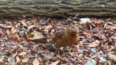 久しぶりの庭に出た我眉鳥とヤマガラさんの餌付け。