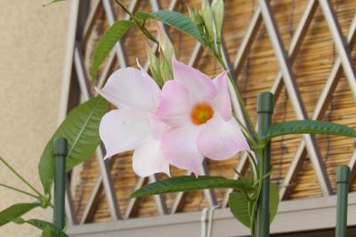 マンデビラ ホワイトデライト(ピンクと白の花が並んで対で咲く秋の花)