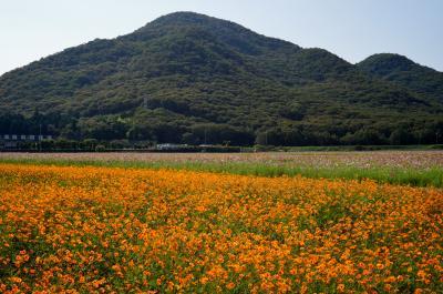 たつの花巡り 金剛山のそばの花と馬場のコスモス