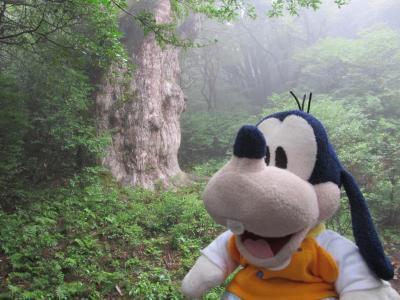 グーちゃん、屋久島へ行く!(来たー!縄文杉さんとご対面!編)
