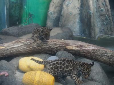 ♡ジャガオに赤ちゃんが生まれたの♡天王寺動物園♥悲喜こもごも♥