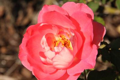 秋バラを探して… ふらりと午後の公園散歩