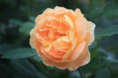 新宿御苑の散策~バラも十月桜も~~楽しめました!
