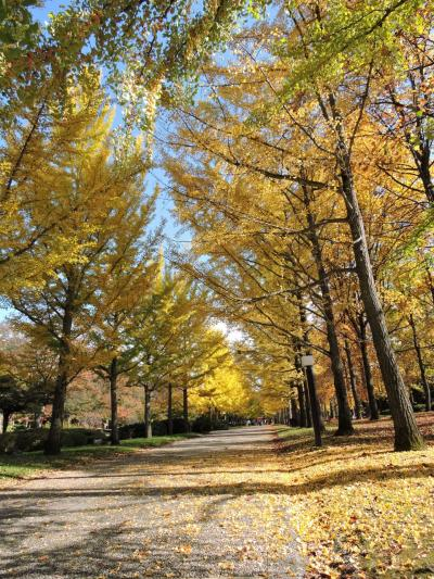 天童市総合運動公園の銀杏並木(山形の秋)