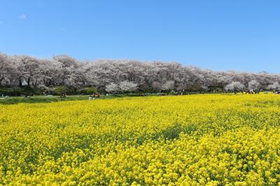権現堂の桜堤と周辺の桜スポットを巡ってみました。