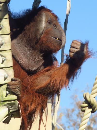 旭山ZOO-9 オランウータン 世界最大の樹上動物 ☆頭上高くを楽々移動し