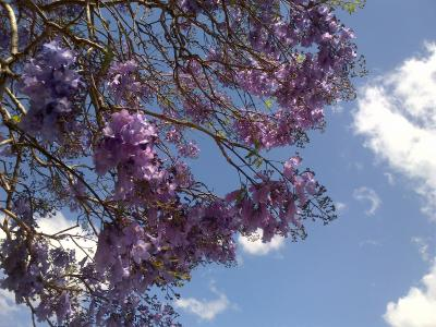 紫の桜「ジャカランダ」に酔う