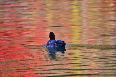 2014紅葉(8) 雄日ヶ丘公園の銀杏と紅葉&松尾池オシドリと紅葉