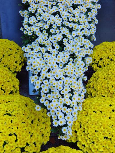 新宿御苑-2 菊花壇展2/8 懸崖作り花壇 ☆野趣を生かした独特の味わい