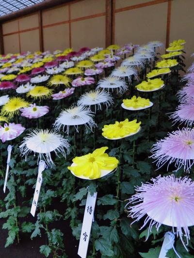 新宿御苑-6 菊花壇展6/8 一文字菊、管物菊花壇 ☆御紋章や細管のよう