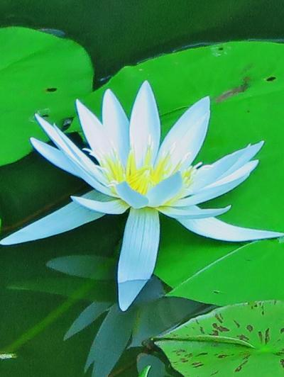 新宿御苑-9 大温室が新装再開、熱帯スイレン咲く ☆開花中のバラ園にも