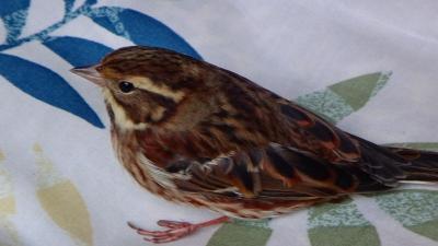 早朝スズメと我眉鳥を撮影した後の朝食時・・・ベランダのガラス戸にドーンと体当たりして来たカシラダカ。