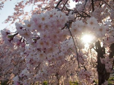 織姫神社や織姫公園の桜など