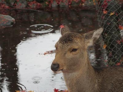 奈良コミュ第4回オフ会☆紅葉の奈良公園と葛料理☆鹿も、おめかししちゃってる~(*^_^*)