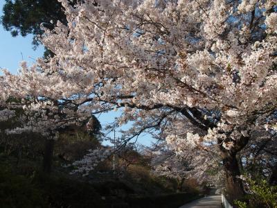 桜の季節の長瀞へ行ってみました^▽^