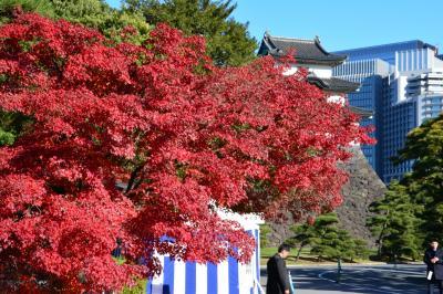 「皇居乾通り一般公開」で紅葉を楽しむ。
