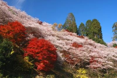 東海地方随一の紅葉名所香嵐渓と小原四季桜(その2、春と秋が一緒にやってきた!?四季桜を見に小原へ)