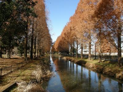 晩秋のウォーキングコースから見られた風景・・・②加須はなさき水上公園のメタセコイヤの紅葉