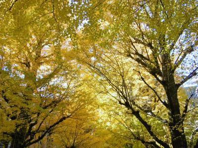 東京の黄葉もきれいです!~東京大学本郷キャンパス