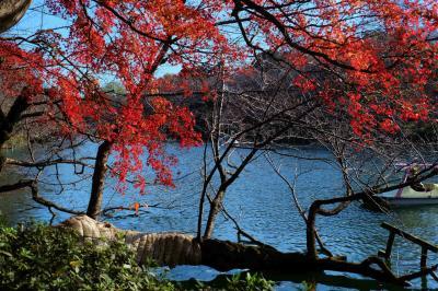 イタリアン料理を食べて 紅葉の素晴らしい 井の頭公園 散歩 上
