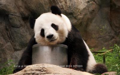 香港オーシャンパークのパンダちゃん(Le Le & Ying Ying)