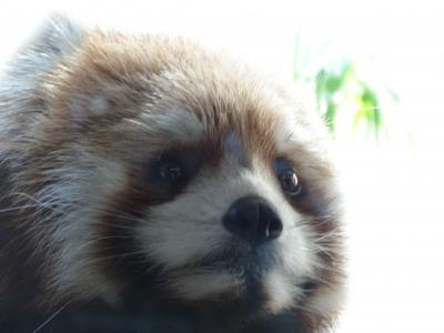 2014年12月 レッサーパンダを見に行こう! よこはま動物園ズーラシア1