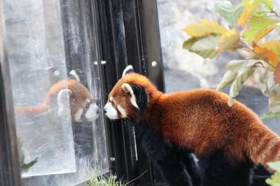 2014年冬・関東レサパン・オフ会は初めてのよこはまズーラシアで(2)Mission No.1:レッサーパンダ~正当派な可愛らしさのコウセイくんと埼玉出身のララちゃん!&亜寒帯の森の動物たち
