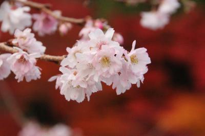 南相馬市 紅葉と寒桜どちらも見ごろ!知る人だけが知る宝蔵寺 晩秋の風景