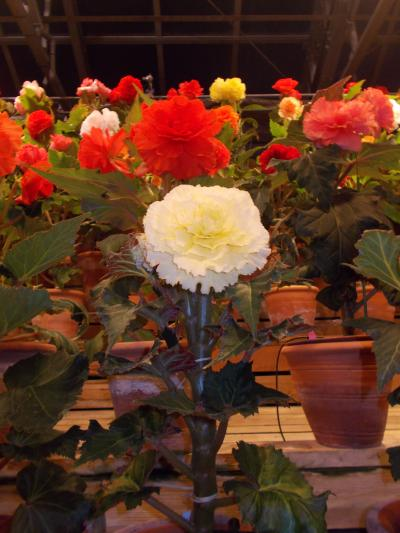 なばなの里...花とイルミネーション & LED..ノーベル賞 天野先生の地元で年末恒例キャバ忘年会と街中..夜風景
