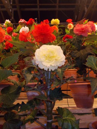 なばなの里・・お花とイルミネーション & LED..ノーベル賞  天野先生の地元で 年末恒例キャバ忘年会と街中..夜風景