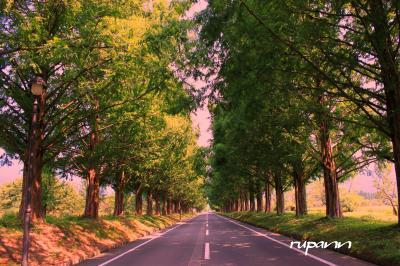 青春18切符一人旅 滋賀 余呉湖~マキノ高原・メタセコイア並木 深緑のトンネルを歩く