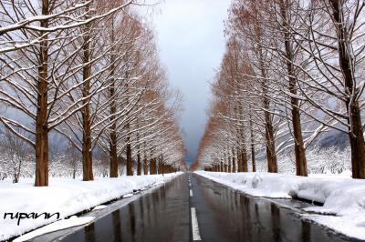 関西1dayパスで 雪の華を期待して マキノ高原・メタセコイア並木~余呉湖