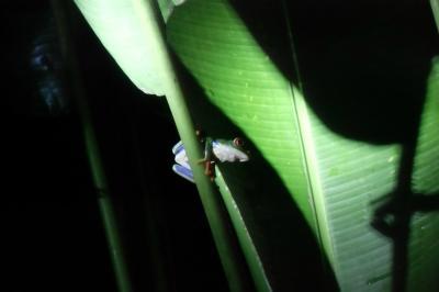綺麗なカエルには毒がある!Selva Verde Lodgeの敷地内のジャングルトレッキングで見つけた生き物たち