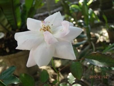 野生のバラ