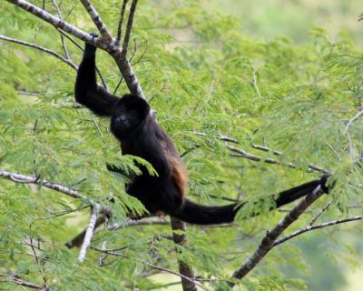 コスタリカ 生物多様性&熱帯林(4/全12): タマリンド → モンテベルデ 雲霧林 夜行性動物の楽園