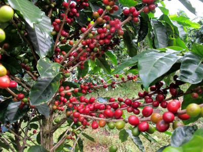 コスタリカ 生物多様性&熱帯林(6/全12): モンテベルデ コーヒー農園 → アレナル 温泉リゾート