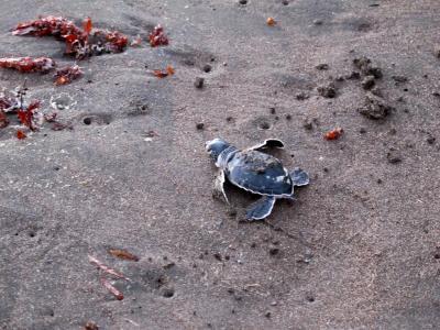 コスタリカ 生物多様性&熱帯林(10/全12): トルトゲーロ 海亀の孵化 → サンホセ