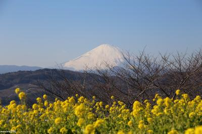 新春の黄色い花の競演:吾妻山の菜の花ウォッチング~北鎌倉・明月院のロウバイ