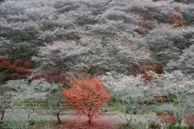 小原四季桜(愛知県豊田市)を訪ねる