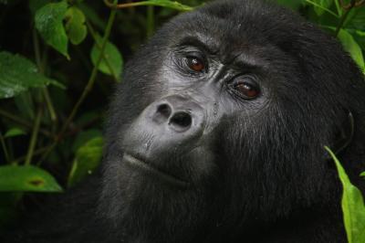 アフリカの真珠へ5 マウンテンゴリラに会いにジャングルの中へ