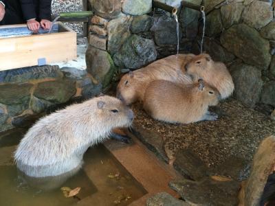 年末年始は熊本&長崎で過ごす。その2☆【長崎後編】 長崎バイオパークのカピバラ温泉だ~~!ところが寒波到来で帰れまテン。しかし、イイ居酒屋を発見!荒れる海。はたして帰れたのか??