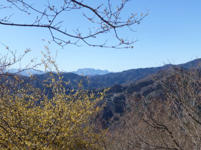 長瀞アルプスハイキング 蝋梅がちょっと咲いていた宝登山